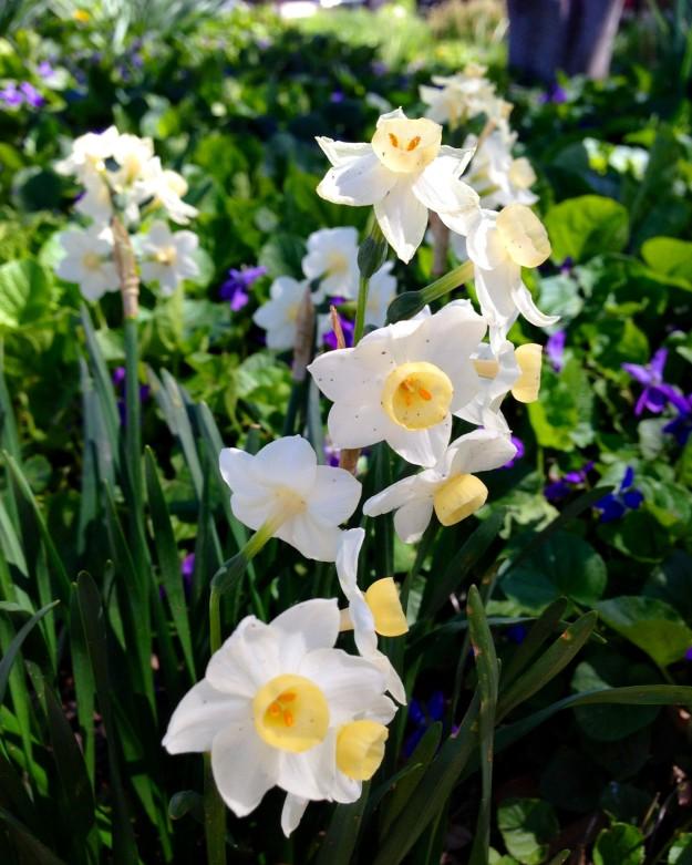 Countdown 7 Daffodil 1
