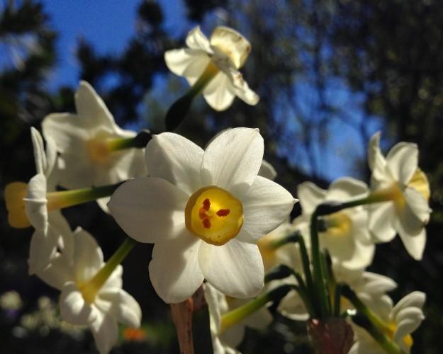 Countdown 7 Daffodil 2