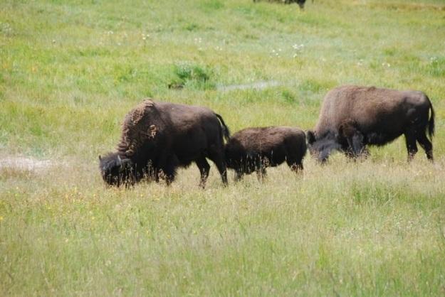 buffaloyellowstone